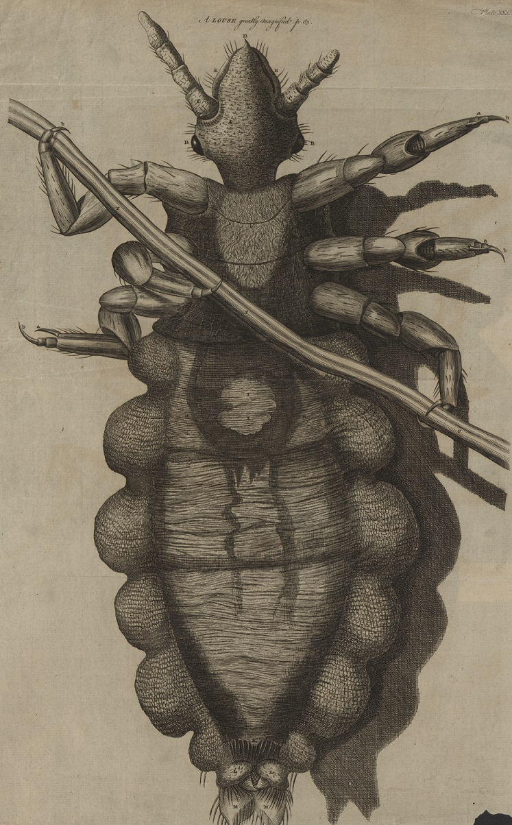 louse micrographia