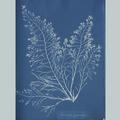 11887 Anna Atkins algae image 03
