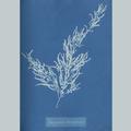 11887 Anna Atkins algae image 01