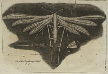 Print (Engraving) Hooke's Micrographia, The White Feather-wing'd Moth